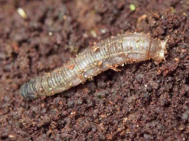 Личинка комара долгоножки