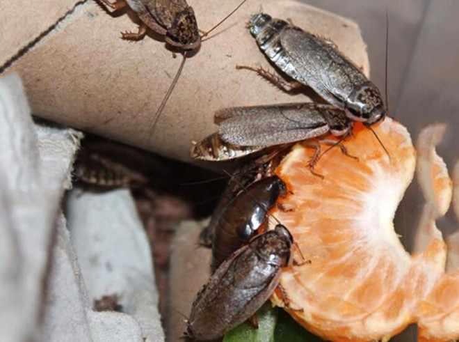 Питание таракана мраморного