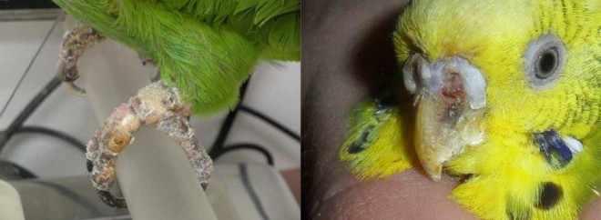 Чесоточный клещ у попугая