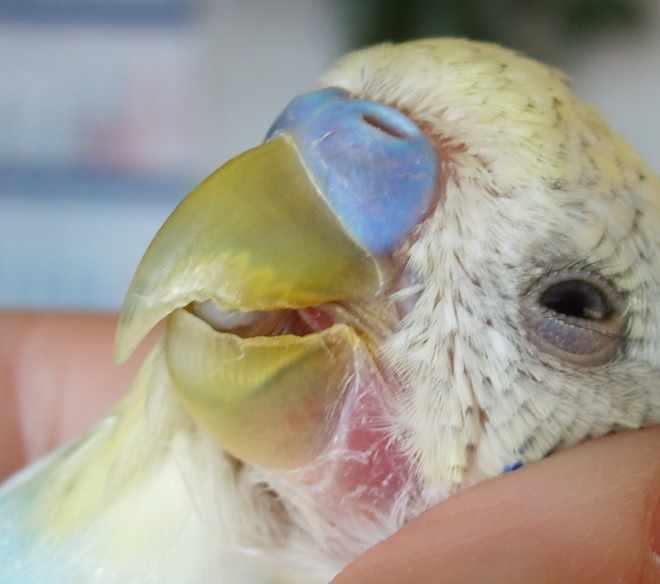Трахейные клещи у попугая