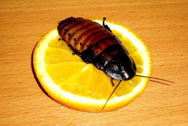 Таракан ест апельсин