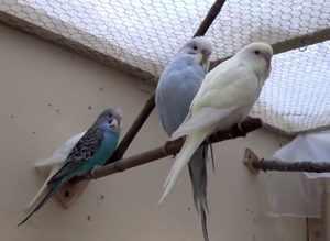 Первая линька у попугаев происходит в три-четыре месяца