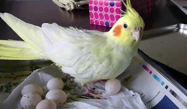 Частые кладки изматывают птицу