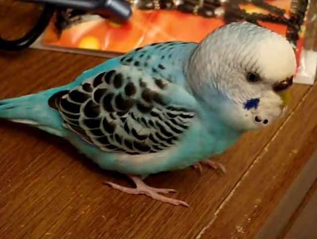 Пальцы птицы плотно прилегают к поверхности стола