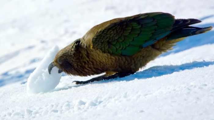 Кеа - попугай, который охотится на овец