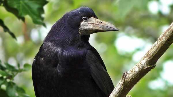 Близкий родственник вороны