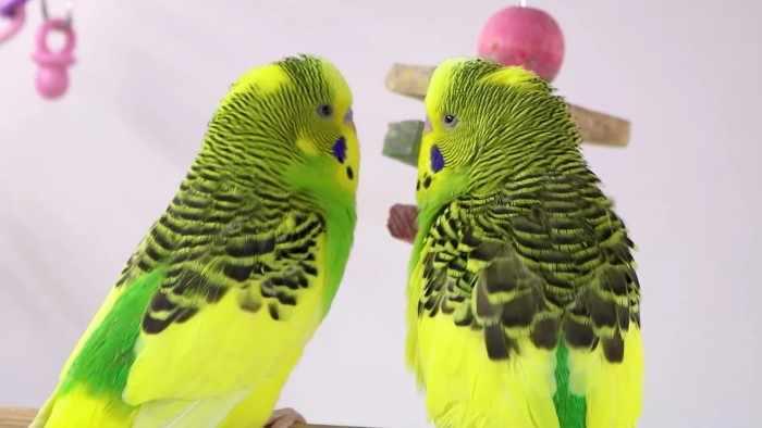 Парочка попугаев помирилась только после того, как раздербанила мою фуксию