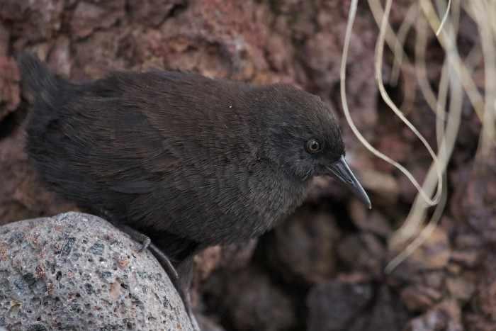 Тристанский пастушок - самая маленькая нелетающая птица