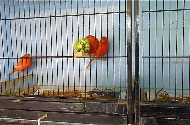 Канарейки с удовольствием полакомятся брокколи