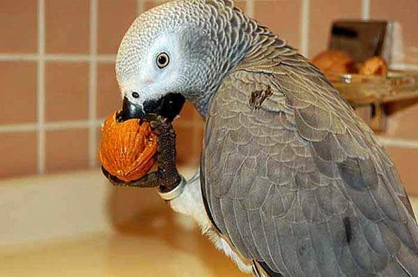 Не все орехи полезны для птиц