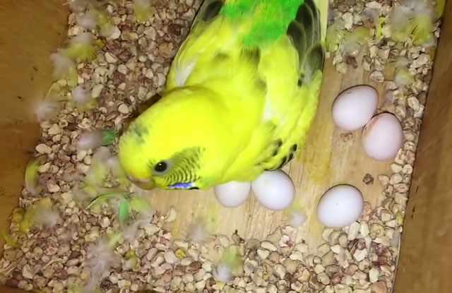 Через шестнадцать-двадцать дней из яиц вылупятся птенцы