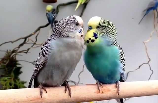У волнистого попугая должны быть корм и чистая вода