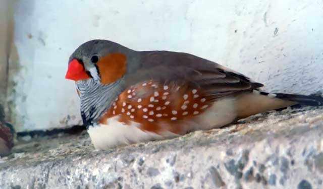 Толстая птичка