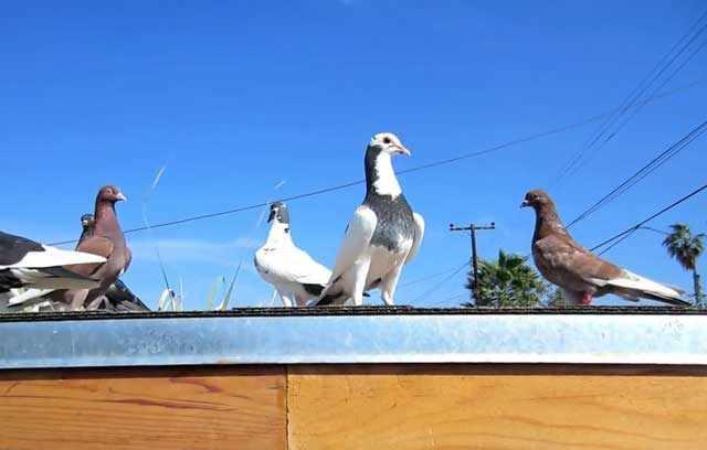 Больных птиц надо незамедлительно изолировать