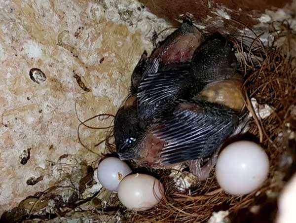 Птенцы вылупляются по очереди