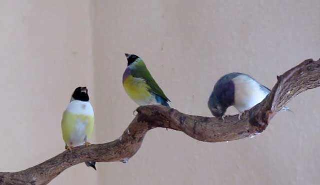 У молодых птиц черный клюв