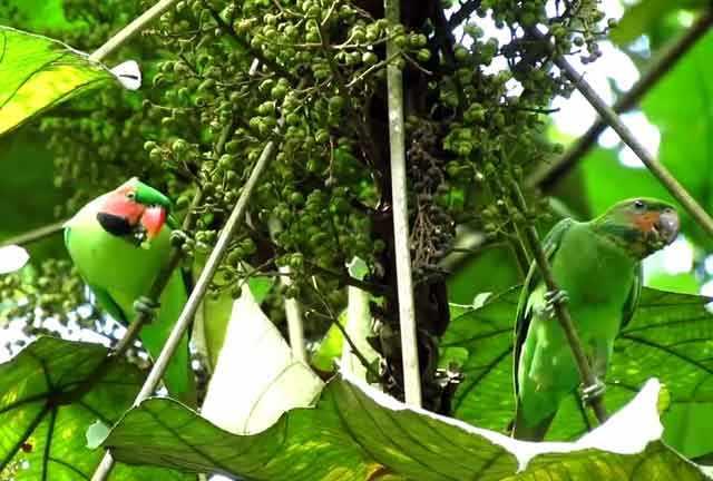 Нитехвостые попугаи на дереве