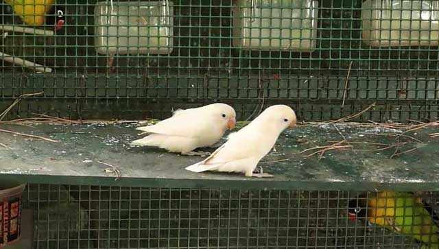 Два неразлучника-альбиноса ищут чем полакомиться