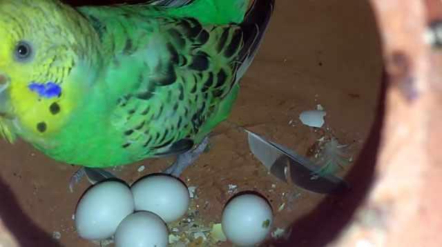 В гнезде самка должна чувствовать себя в безопасности