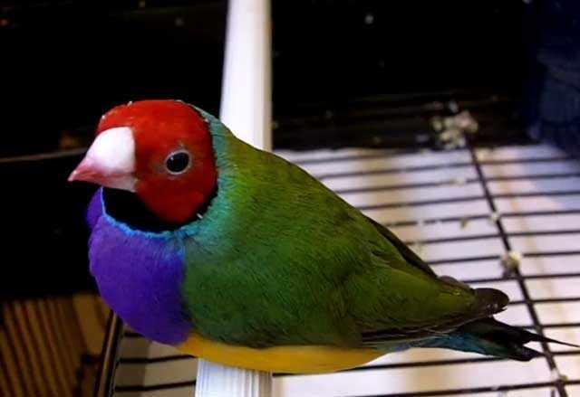 Агрессивных птиц можно отлавливать сачком