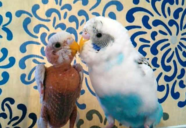 Лысый попугайчик