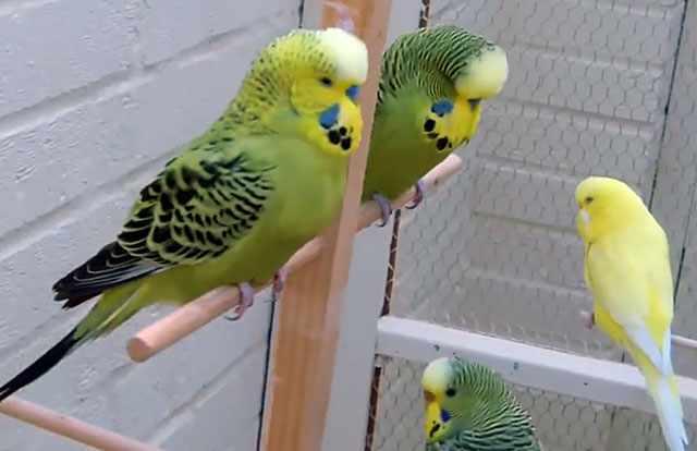 Вы должны научить попугая возвращаться в клетку