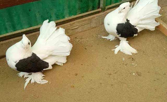 Ножки «обуты» в перья