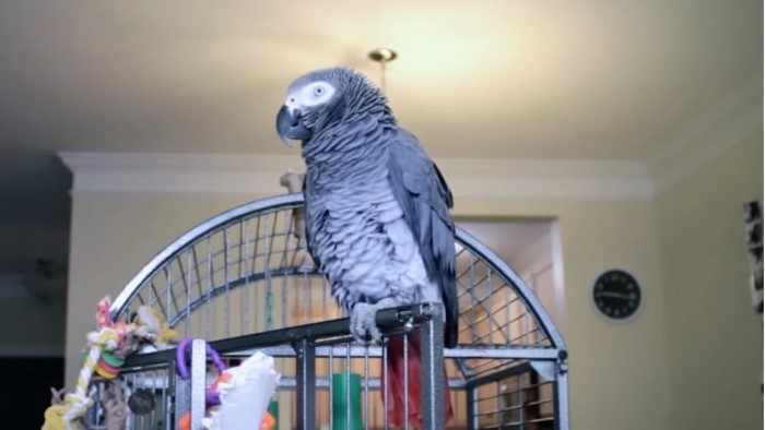 Как наш попугай Григорий очаровывал подругу сына