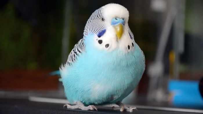 Случайно заведённый попугай стал лучшим другом