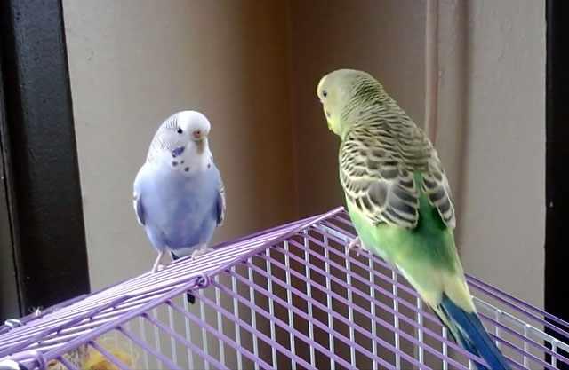 Птицы играют на клетке