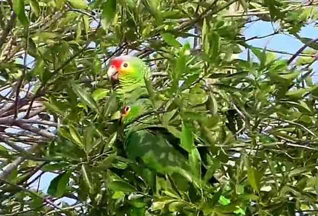 Желтощекие на плодовом дереве