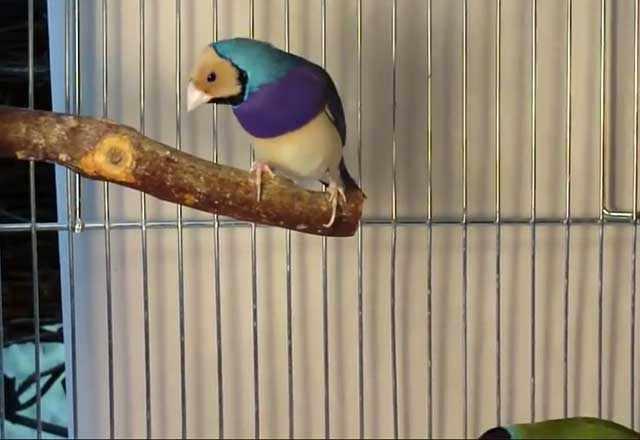 Амадины - маленькие птички