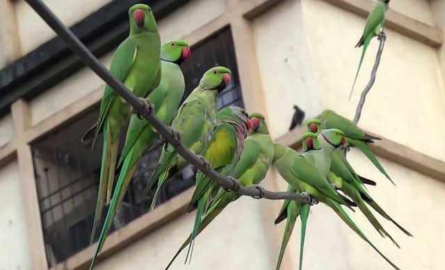 Попугаи Крамера на ветке