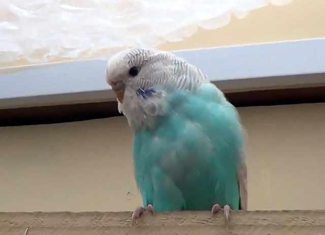 Постарайтесь не волновать волнистого попугая