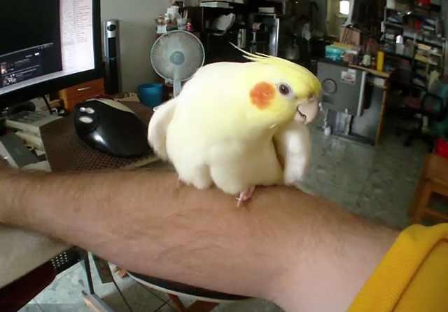 Главное, чтобы попугай не боялся