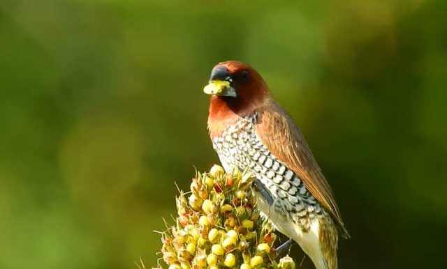 Амадины - зерноядные птицы