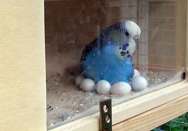 Для разведения волнистых попугаев понадобится гнездо