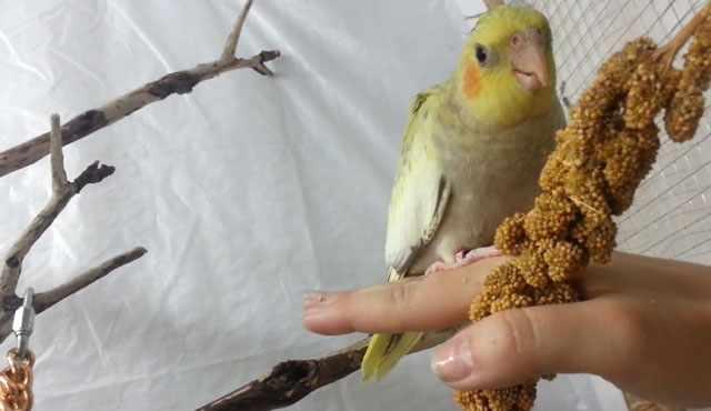 Просо на ветке понравится любой птице