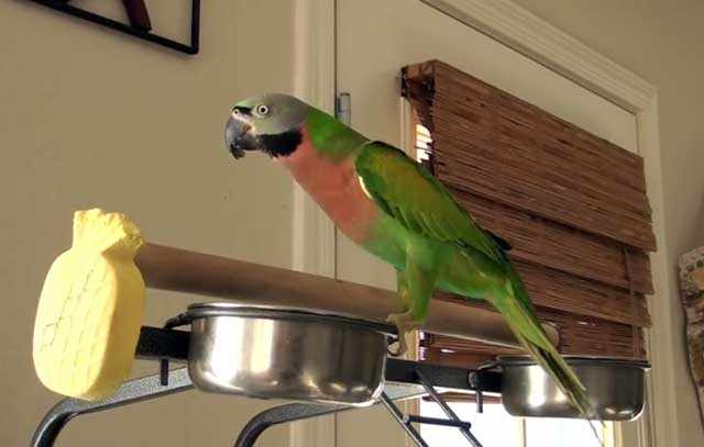 Розовогрудый попугай на кормушке