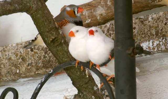 Природный окрас птицы и альбиносы