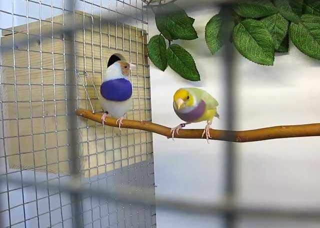 Самка и самец в период гнездования