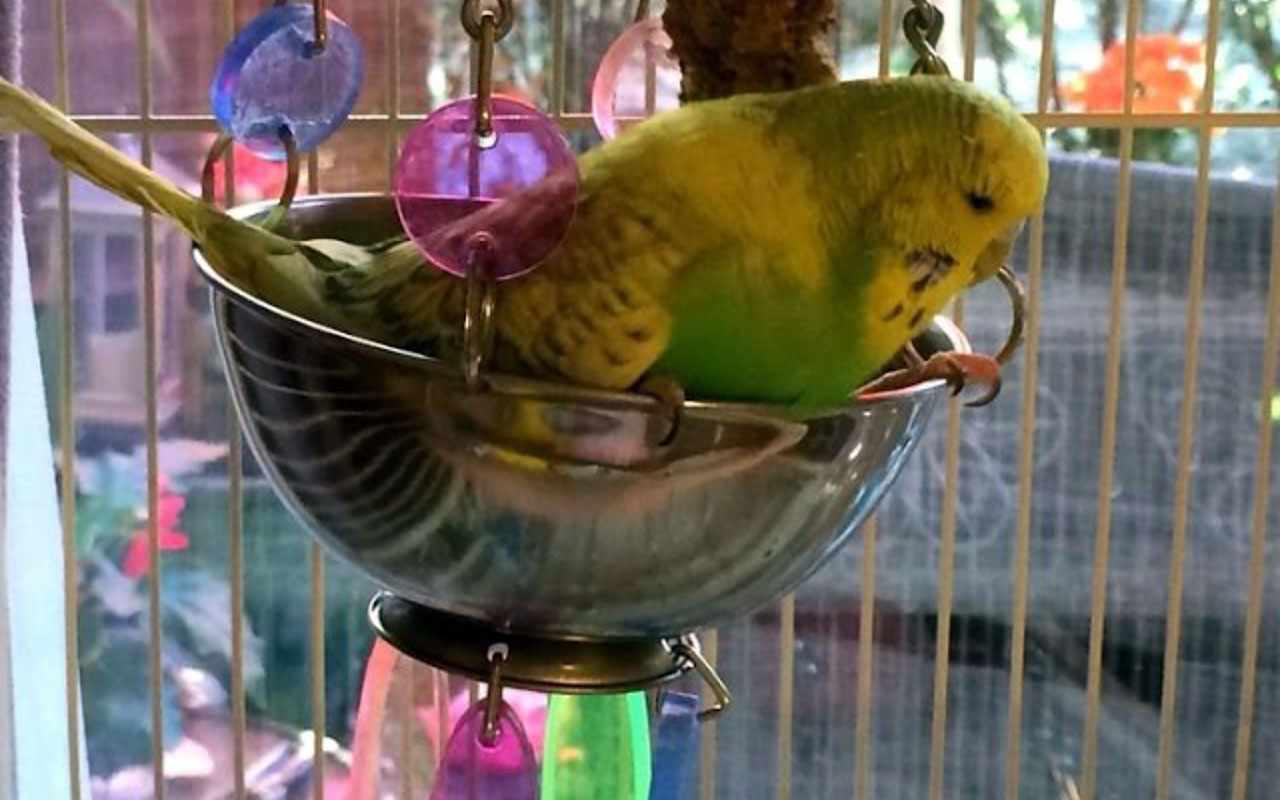 Волнистый попугай катается на качели