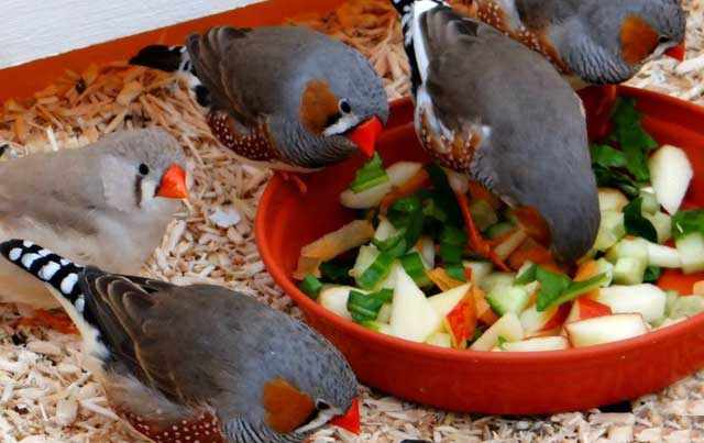Овощи очень полезны для птиц