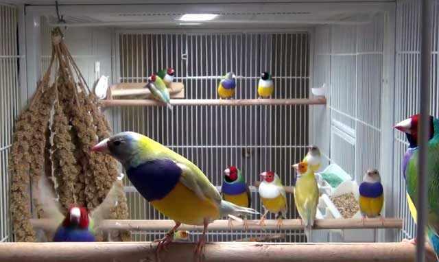 Птицам нужна вместительная клетка