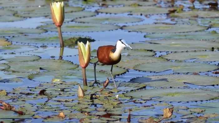 Африканская якана будто ходит по воде