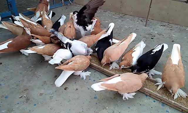 Птенцов к новой пище приучают постоянно