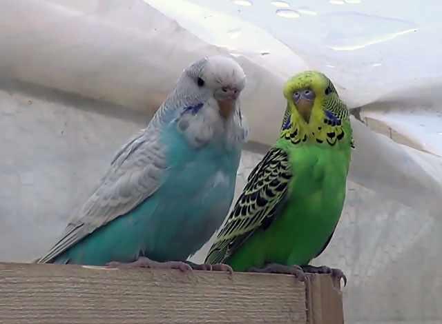 Подождите, пока попугай освоится в клетке