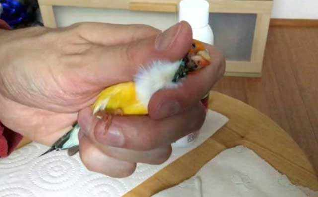Как нужно фиксировать голову птицы