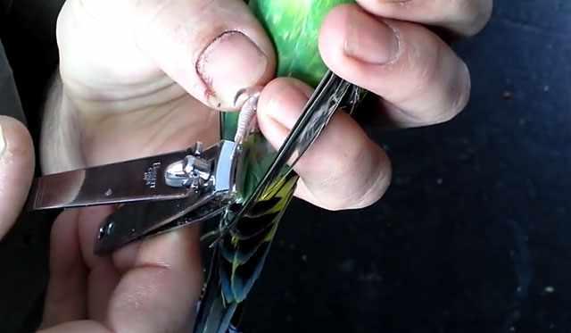 Аккуратное обрезание птичьих когтей