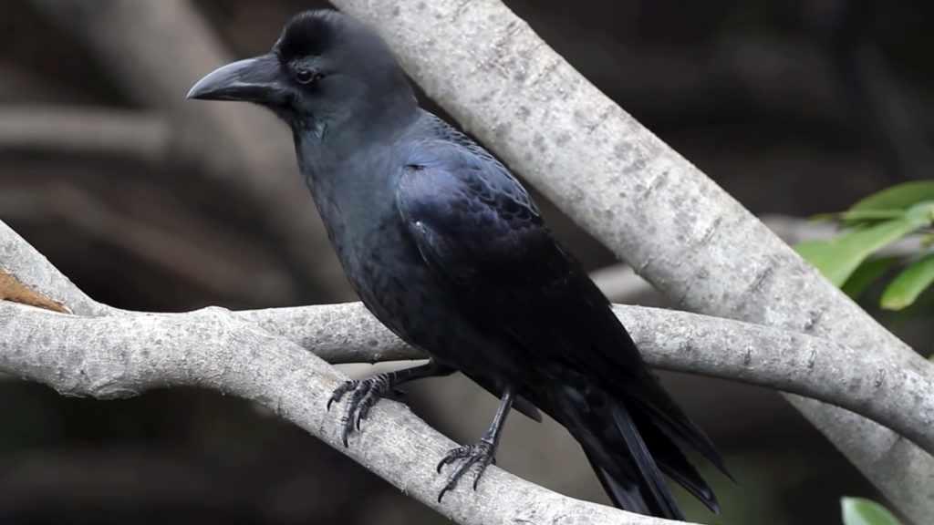 Большеклювая ворона, умная и агрессивная
